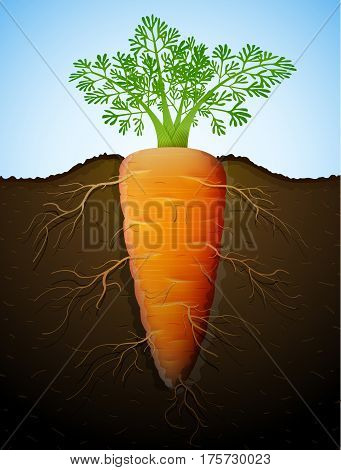 Growing of carrot tuber in ground. Raw carrot with leaves and roots underground. Qualitative vector illustration about agriculture veggies farming gastronomy cultivation olericulture etc