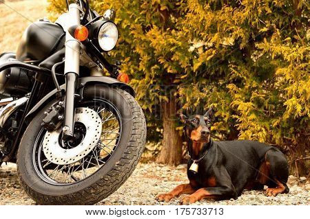 Background of black Doberman pinscher and a motorcycle