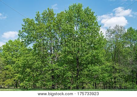 Deciduous trees growing on the forest edges on a background of blue sky and clouds
