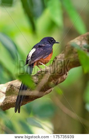 White-rumped Shama sitting in the branch from Thailand