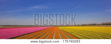 Panorama Of A Field Of Tulips In Pink, Orange And Yellow