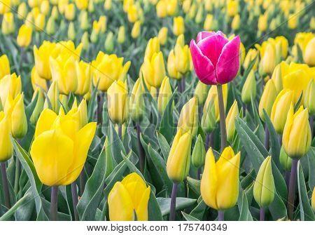 Single Pink Tulip Among Yellow Tulips