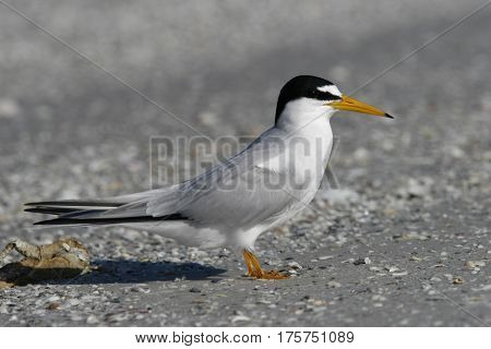 A Least Tern, Sternula antillarum on sand near the shoreline in breeding plumage in Florida