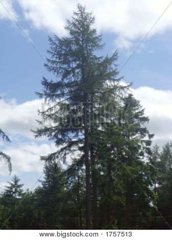 Tall Scottish Pine