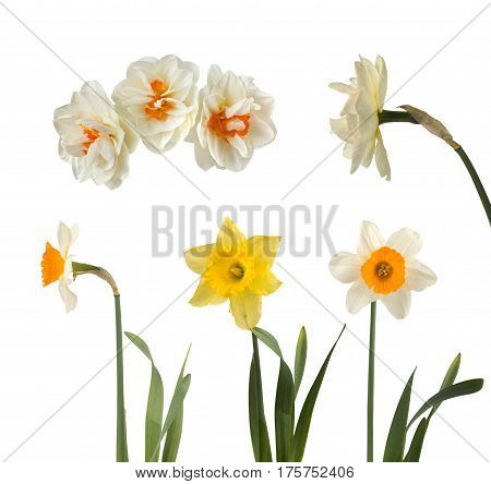 Set Of Beautiful White And Yellow Daffodils