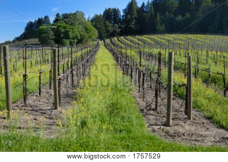 Vineyard In The Sonoma Valley