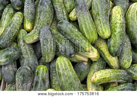 Fresh cucumbers raw vegetable  as  a background
