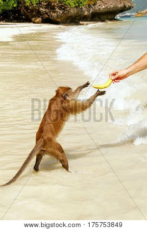 Crab-eating Macaque Taking Banana From Tourist At The Beach On Phi Phi Don Island, Krabi Province, T
