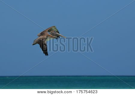 Flying pelican over the tropical ocean waters of Aruba.