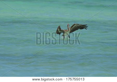 Pelican dropping his landing gear in Aruba.