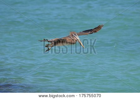 Beautiful pelican flying over the water in Aruba.