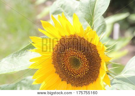 Sunflower head with bright yellow petals. The sunflower (Helianthus annuus) is an annual plant native to the Americas.