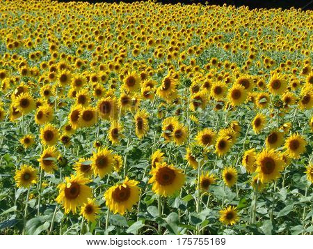 Large patch of sunflowers with bright yellow petals