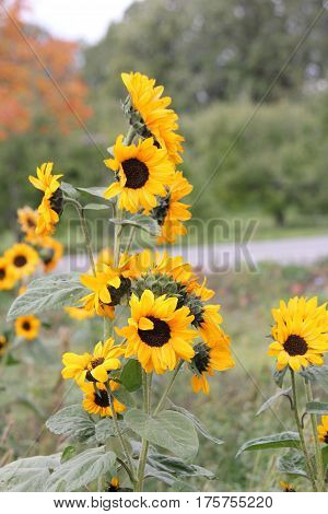 Sunflower heads with bright yellow petals on a stalk.. The sunflower (Helianthus annuus) is an annual plant native to the Americas.