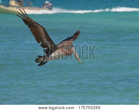 Amazing flying pelican over the ocean waters in the Carribean.