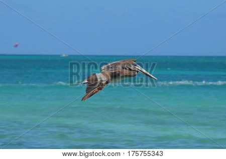 Pelican flying over the tropical aqua waters off the island of Aruba.