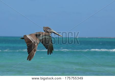 Gorgeous wings on a Pelican in flight in Aruba.