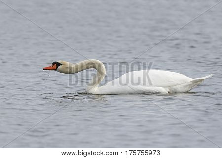 Mute Swan Extending Its Neck To Show Aggression