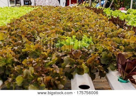 Organic hydroponic vegetables Vertical garden in thailand.