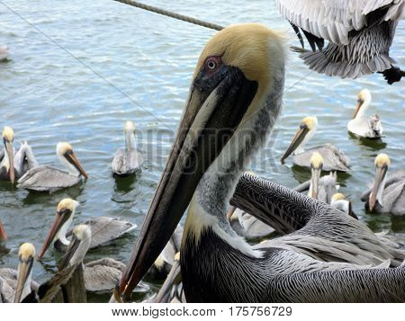 A close up of a brown pelican in bay in Florida.