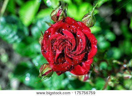 Red rose in drops of dew on a background of foliage
