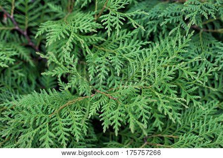 Dense tangled green branches of thuya in the garden