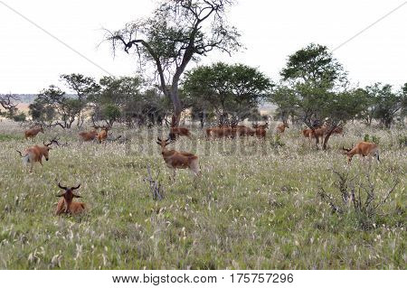 Flock of hirolas grazing in the savanna of Tsavo West park in central Kenya