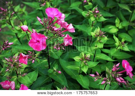Flowering pink phlox on a background of green foliage