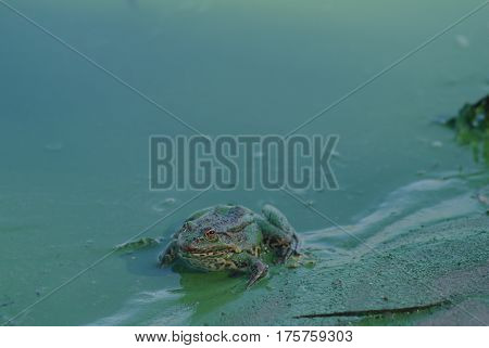 A large frog sits in a river covered with duckweed