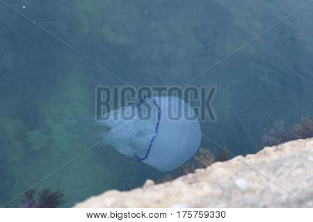 Big jellyfish near the breakwater in Black Sea