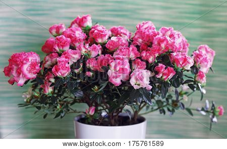 a bush of red spring blooming azaleas in a white pot on a green background
