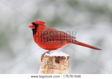 A bright red Northern Cardinal perching on a snowy winter day.