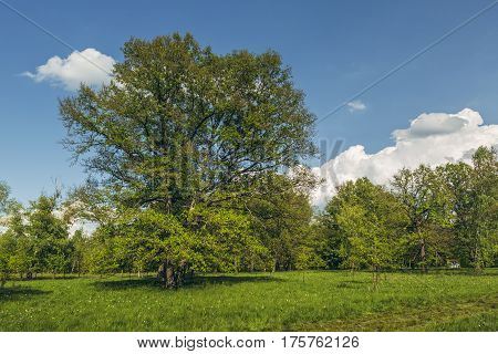 Oak Tree In A Glade