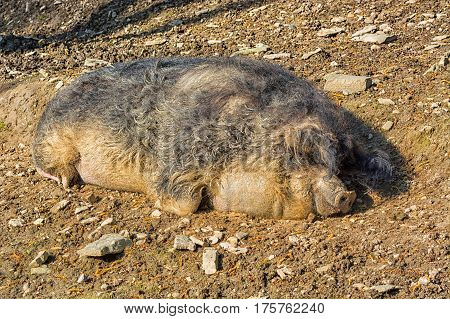 Wild boar in the mud in the warm summer sun lying.