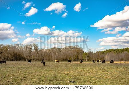 Cattle grazing in the distance on an early spring pasture with partly cloudy blue sky.