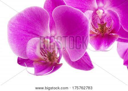 Orchid isolated on white background. Abundant flowering of magenta phalaenopsis orchid. Spa background. Selective focus