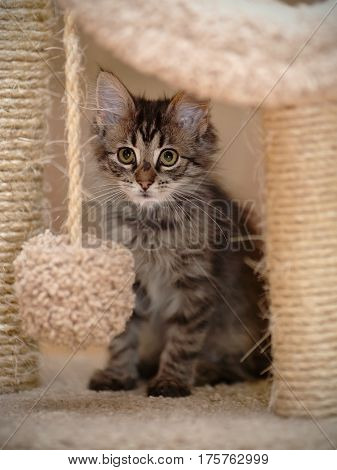 Striped gray fluffy kitten with white moustaches