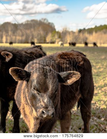 Angus crossbred calf standing in a pasture with cattle in the background - vertical format