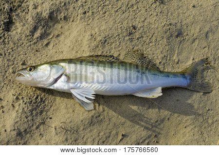 Caught freshwater zander lies on river sand