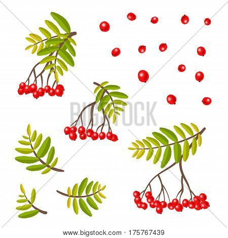 Rowan vector set. Rowan-berries and leafs - autumn isolated collection.