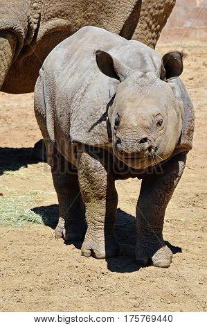 Baby Asian Rhinoceros standing in the sunshine