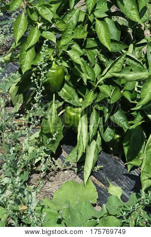 Sweet, Green, Bell peppers, also known as sweet pepper still on the plant. Their colors including red, yellow, orange and green