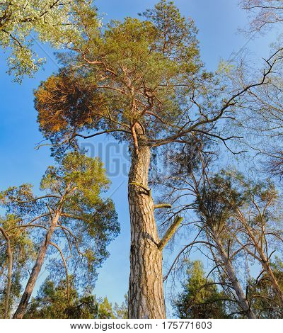 Bottom view of tall old trees i mixed deciduous-coniferous forest with pine in the foreground, Irpen, Ukraine
