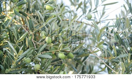 Olives on olive tree branch. close up