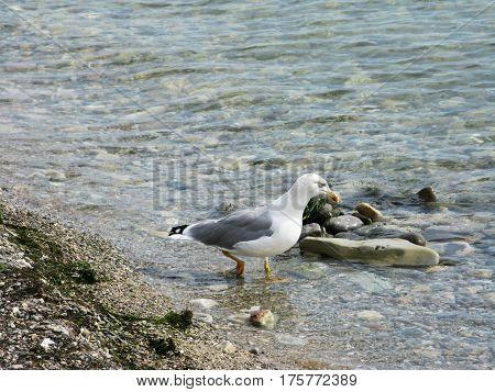 Seagull bird animal walking on the sea shore