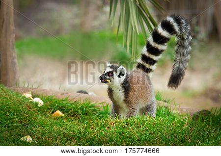 Lemur In The Grass, Ring-tailed Lemur (lemur Catta)