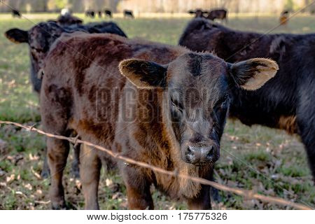 Angus crossbred calves behind a barbed wire fence in an early spring pasture