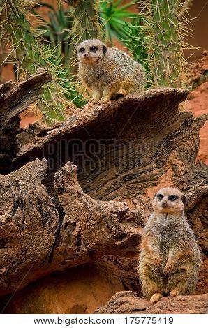 Meerkat (suricata Suricatta) In Zoo
