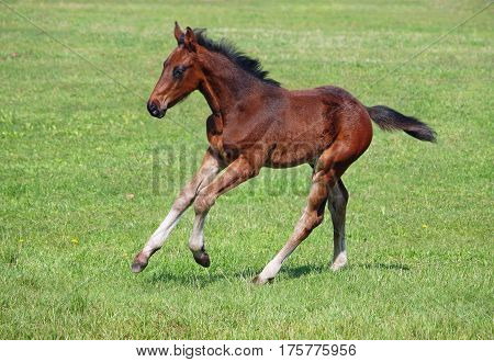 A bay foal gallops on a pasture