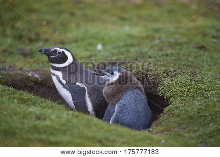 Adult Magellanic Penguin (Spheniscus magellanicus) with a nearly fully grown chick next to its burrow on the grasslands of Bleaker Island in the Falkland Islands.